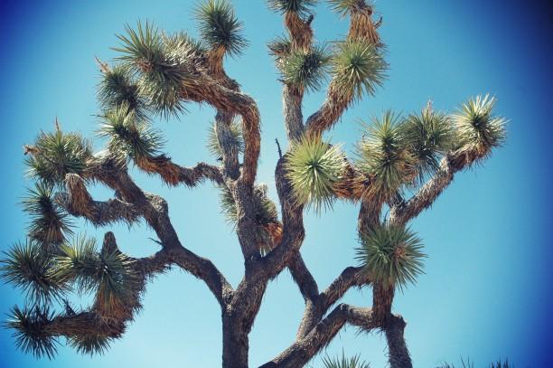 arbre-yucca-joshua-tree